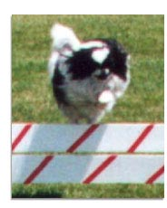 Japanese Chin Jumping