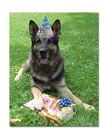 German Shepherd celebrating birthday
