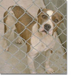 Pit Bull Terrier in a shelter.